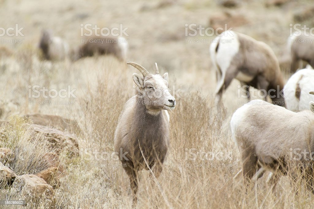 Ewe Bighorn sheep royalty-free stock photo