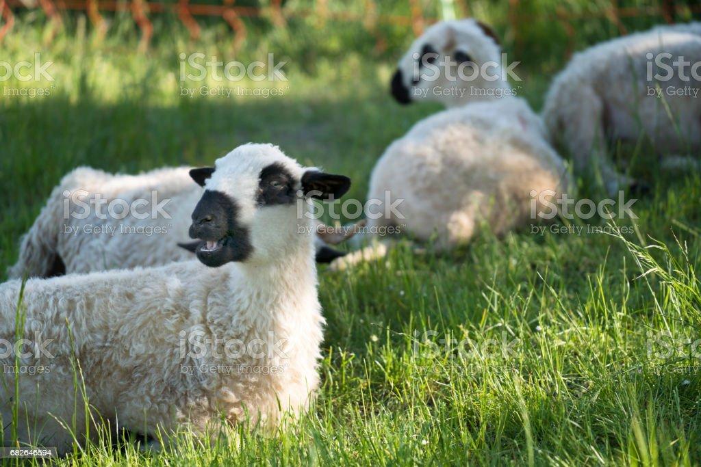 Ewe bleating stock photo