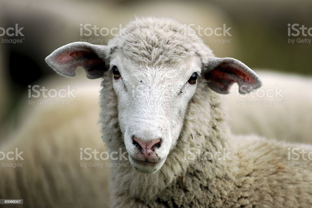 Ewe lamb stock photo