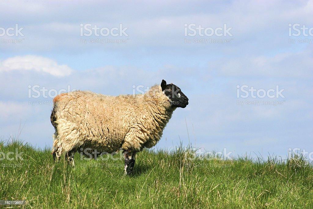 Ewe on hillside royalty-free stock photo