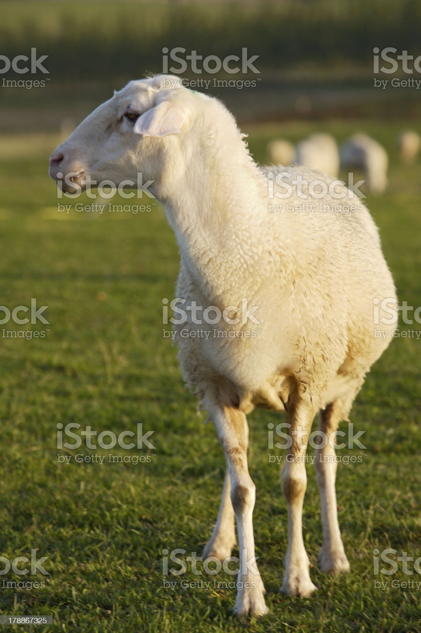 ewe royalty-free stock photo