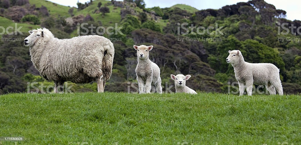 Ewe staring at me? royalty-free stock photo