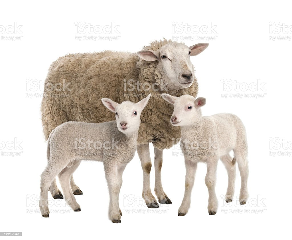 Ewe with her two lambs stock photo