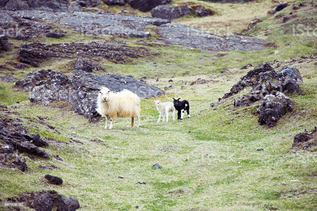 Ewe with lambs stock photo