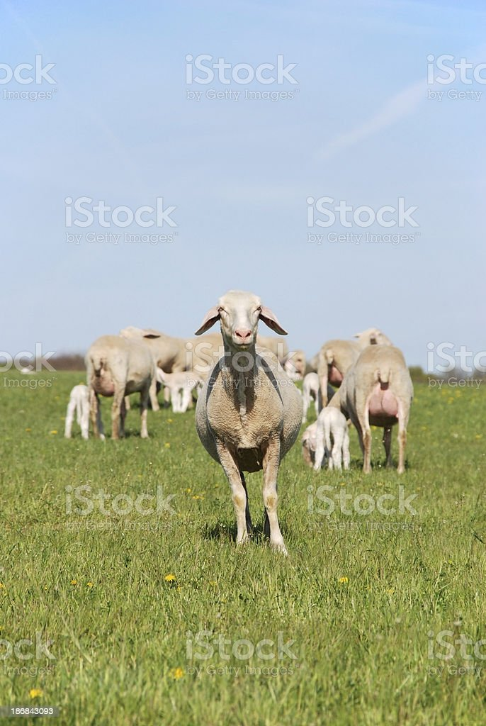 Ewes grazing royalty-free stock photo