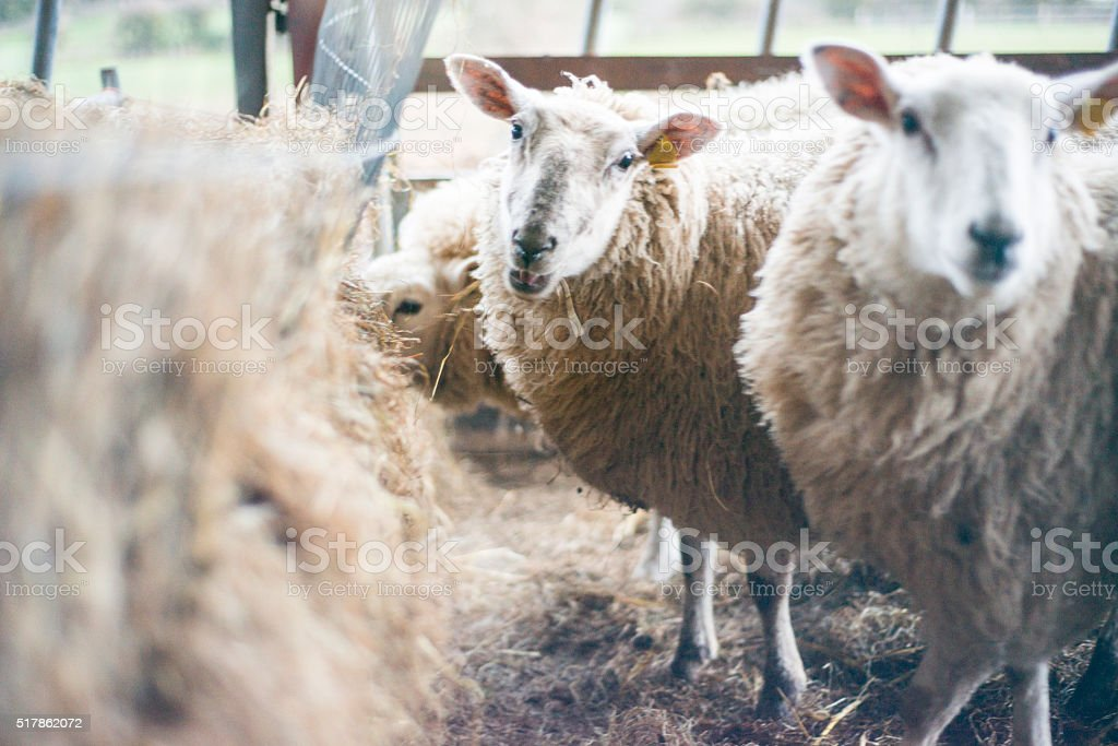 Ewes housed in winter stock photo