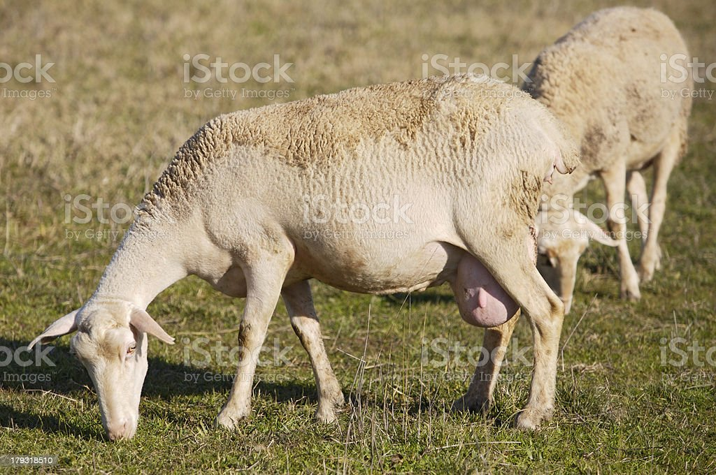 ewes royalty-free stock photo