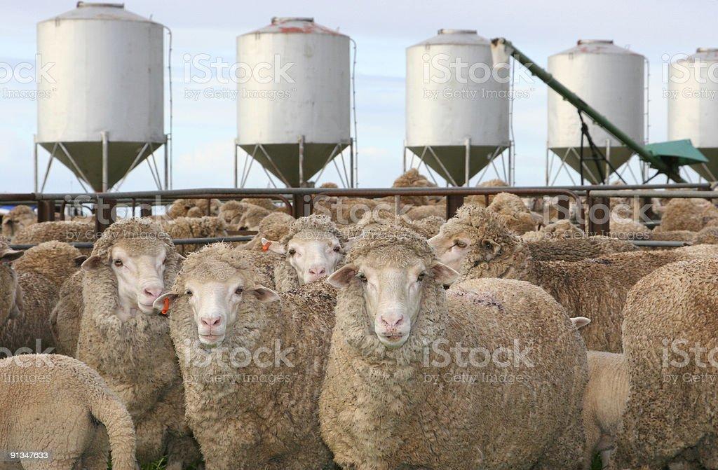 Ewes stock photo