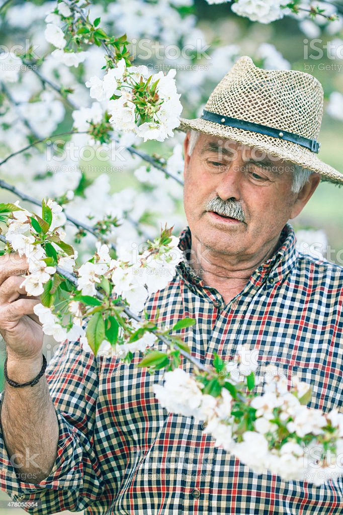Examining cherry blossom stock photo