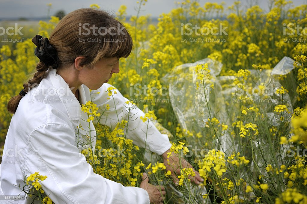 Examining scientific agriculture experiment royalty-free stock photo
