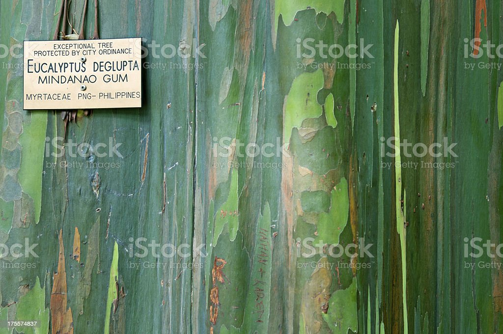 Exceptional Mindanao gum tree protected by city ordinance in Hawaii stock photo