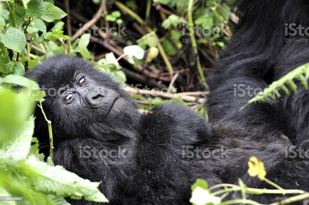 Exchange of glances with baby gorilla stock photo