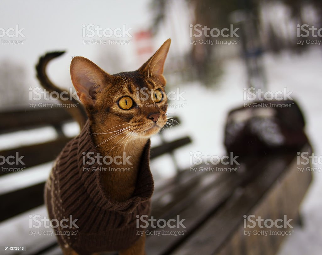 Excited abyssinian cat in winter clothes walking in winter park stock photo