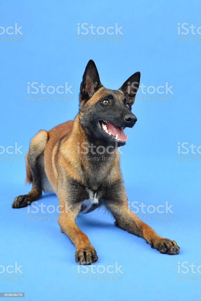 Excited Belgian Shepherd dog waiting for something stock photo