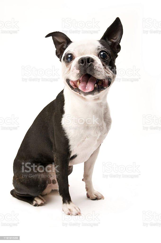 Excited Boston Terrier Dog on White Background Full Body stock photo