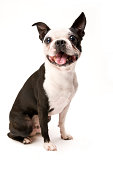 Excited Boston Terrier Dog on White Background Full Body