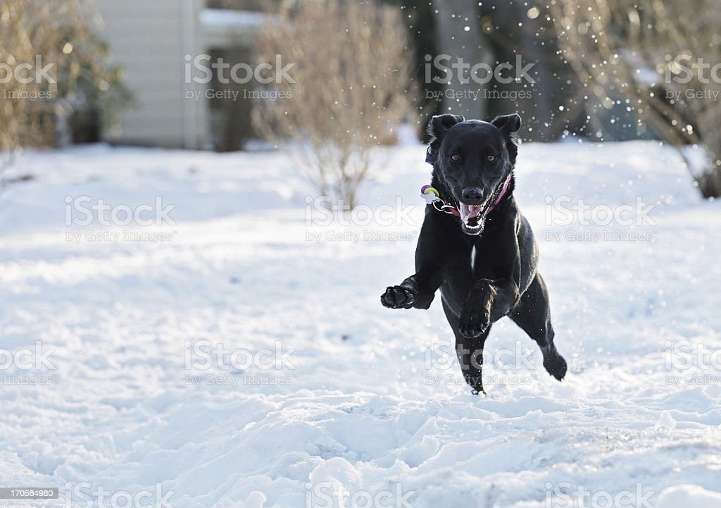 Excited Dog Leaping Through Snow stock photo