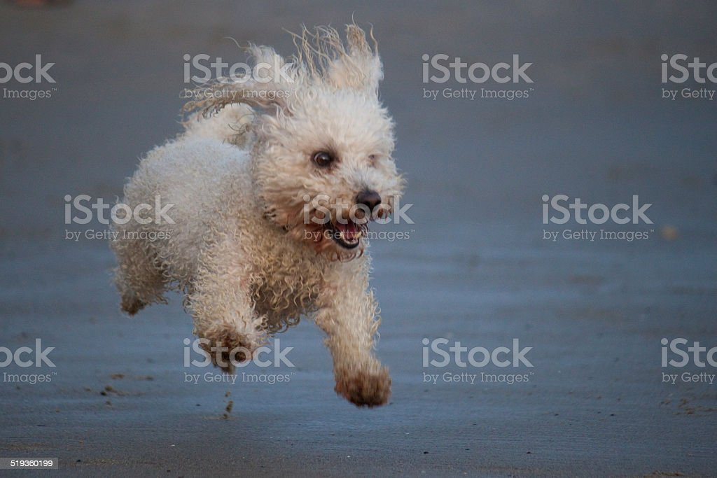 Excited Happy White Toy Poodle Running on the Beach stock photo