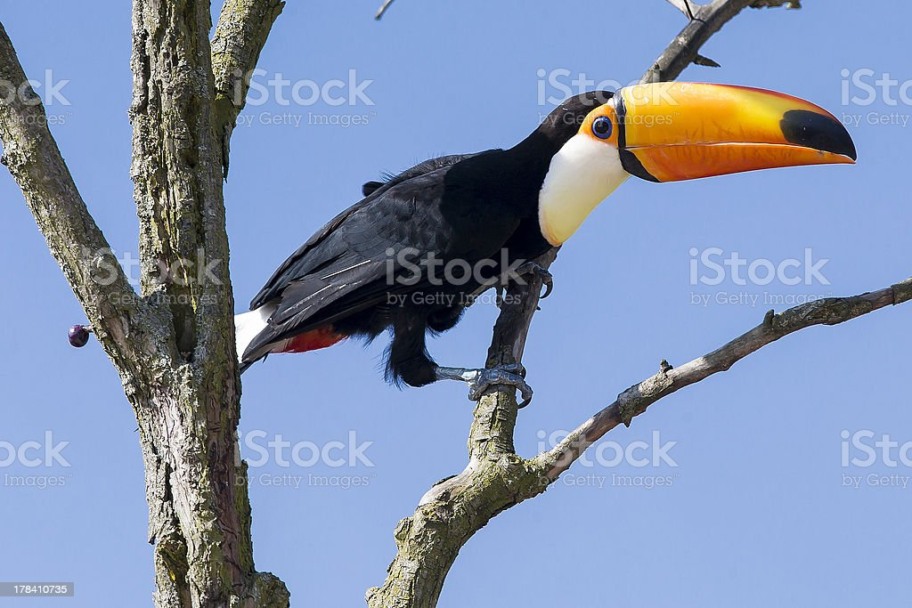 Excotic Toucan bird in a tree on blue sky stock photo