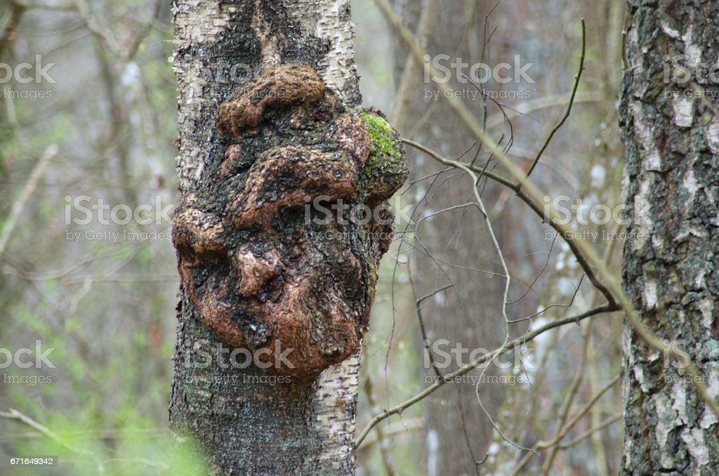 Excrescence on the tree trunk stock photo
