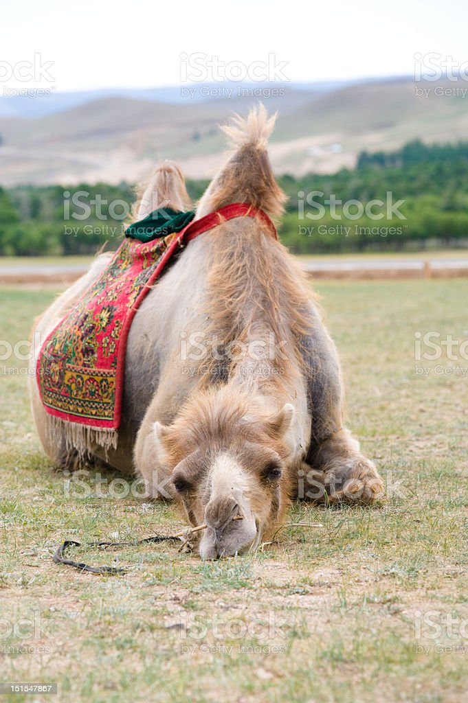 exhausted camel royalty-free stock photo