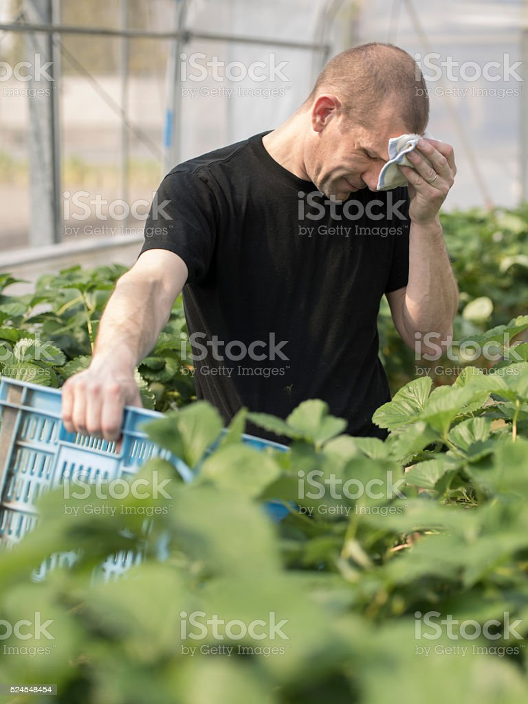 Exhausted Fruit picker collecting strawberries on commerical farm stock photo