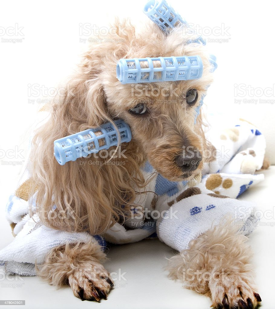 Exhausted in Curlers and Bathrobe royalty-free stock photo