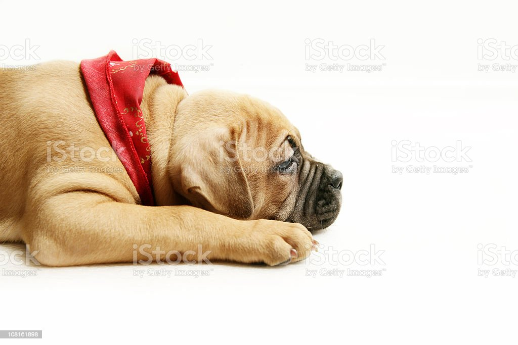 Exhausted Puppy royalty-free stock photo