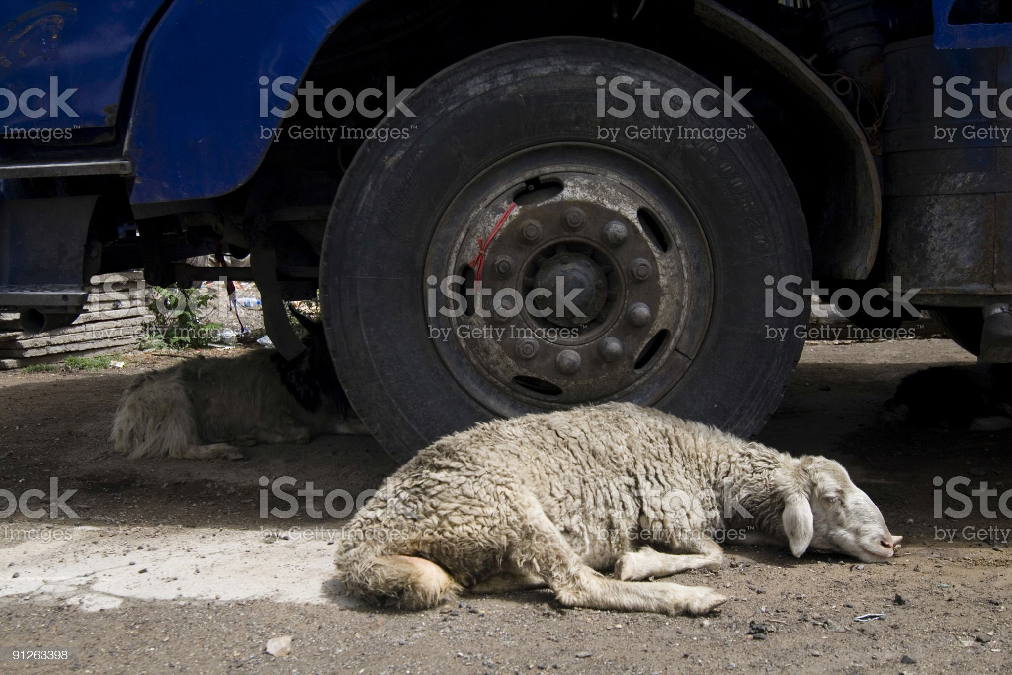Exhausted Sheep royalty-free stock photo