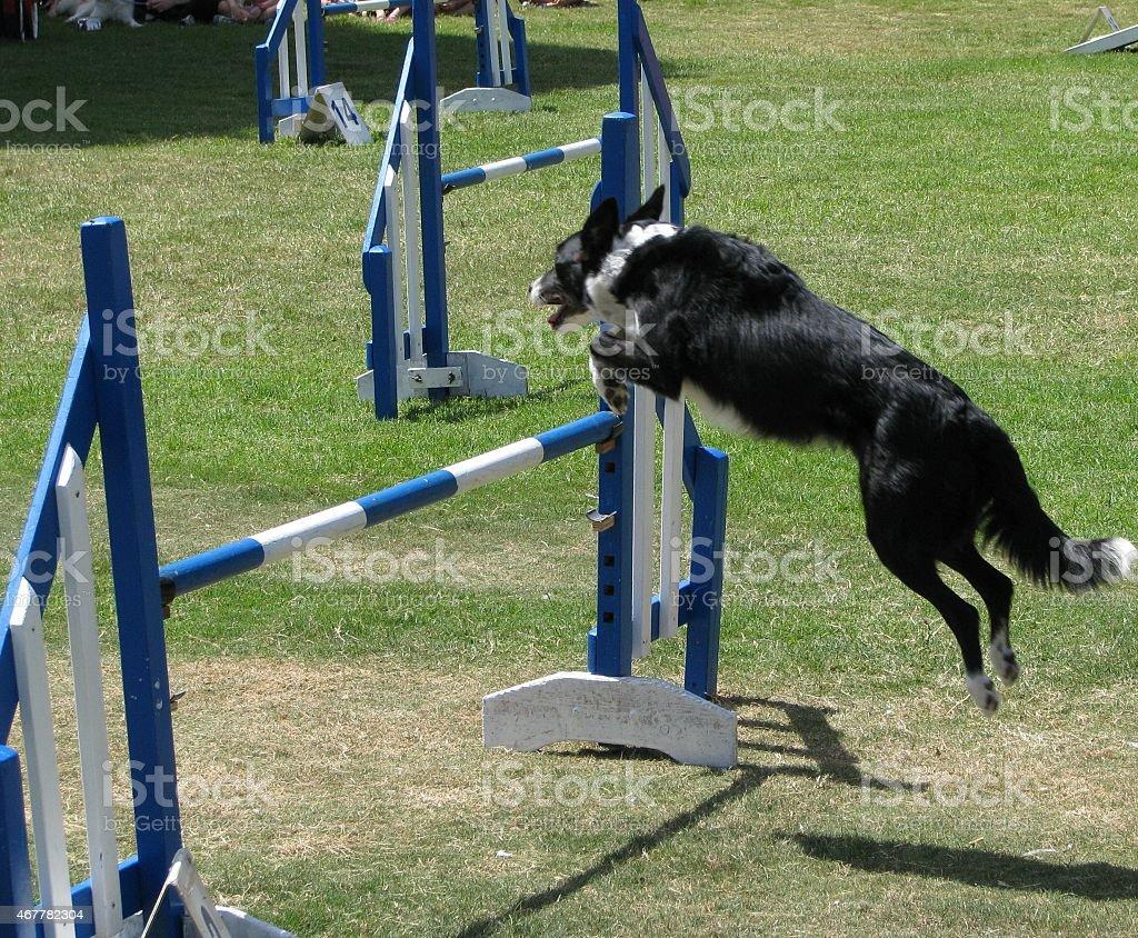 Exhibition Dog stock photo
