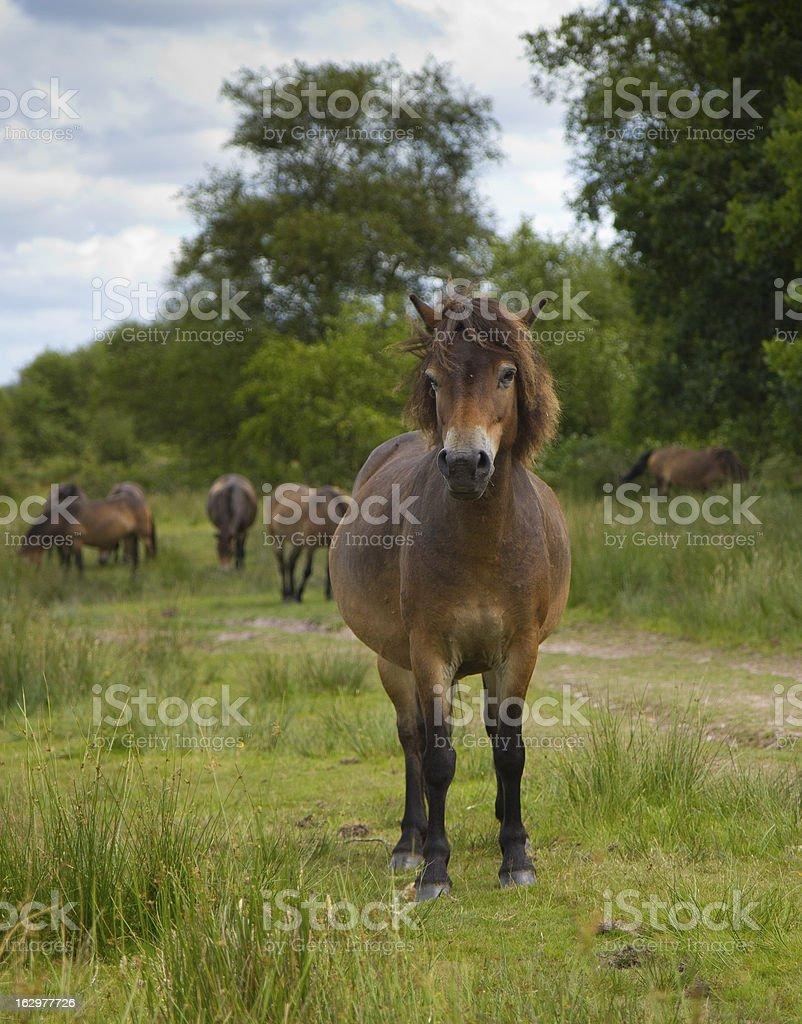 Exmoor Pony at Wimbleball Lake Somerset royalty-free stock photo