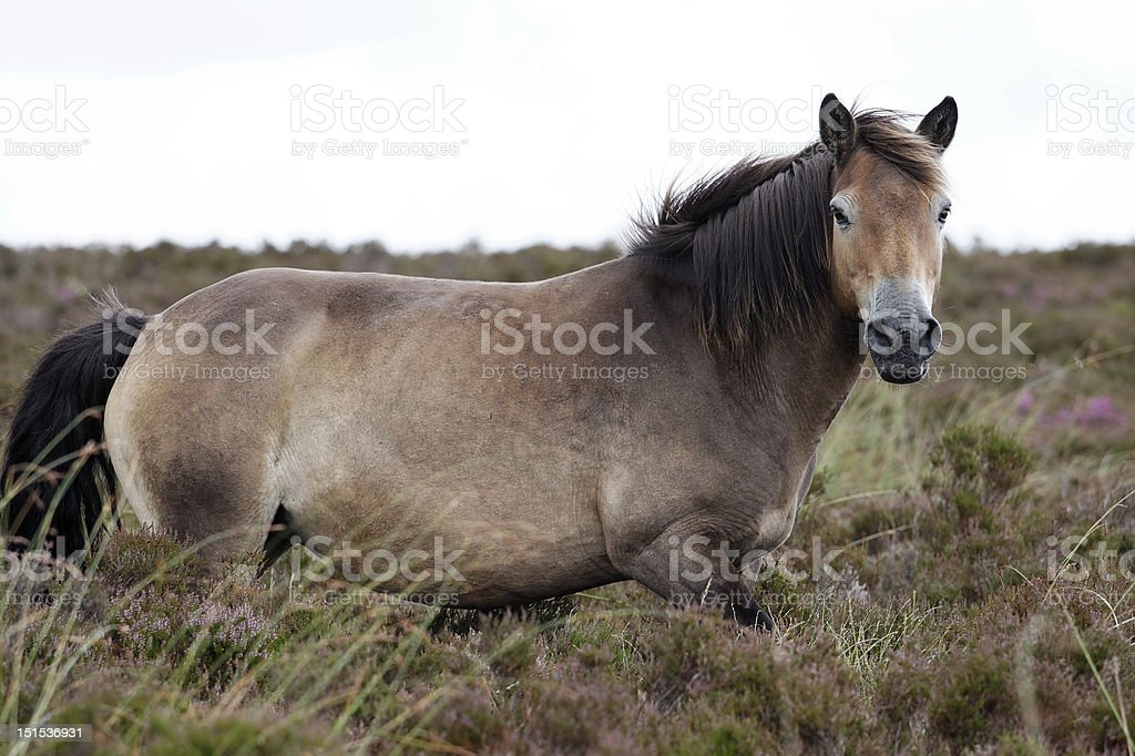Exmoor Pony stock photo