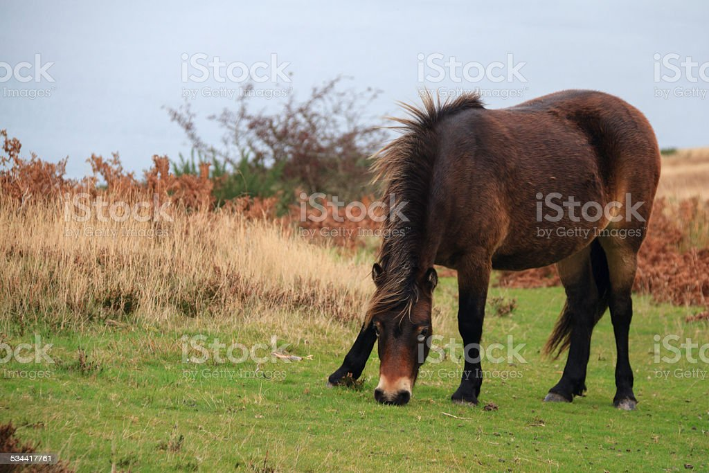 Exmoor pony rare breed stock photo