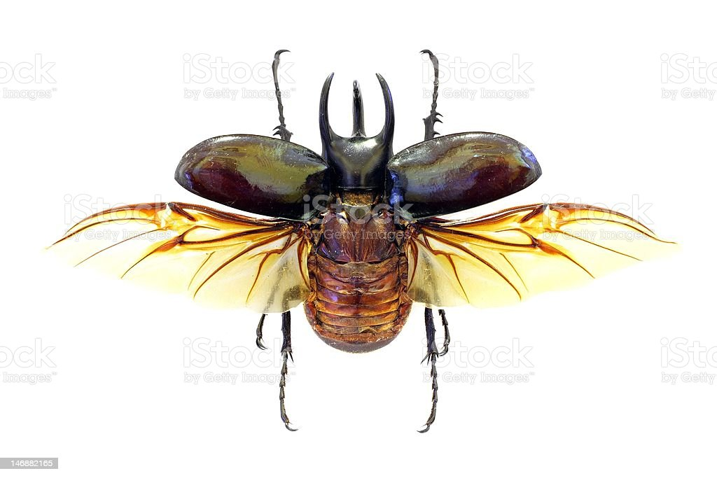 Exotic beetle Chalcosoma atlas stock photo