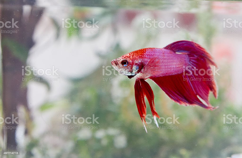 Exotic Beta fish stock photo