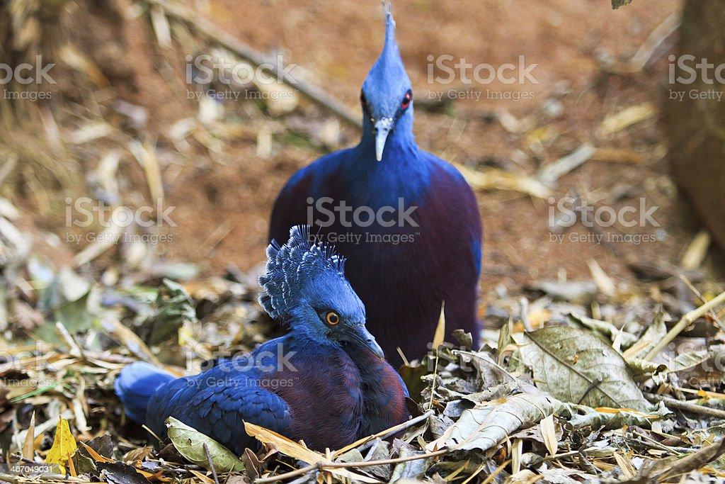 Exotic Bird Goura Victoria royalty-free stock photo