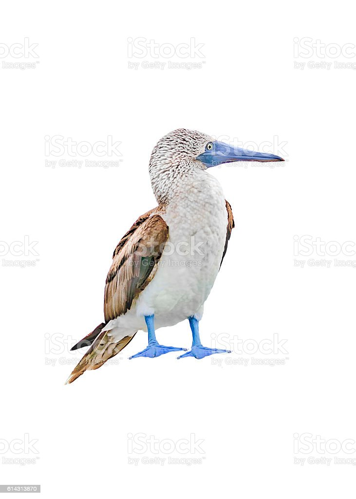 Exotic Bird with Blue Foots Isolated on White Background stock photo