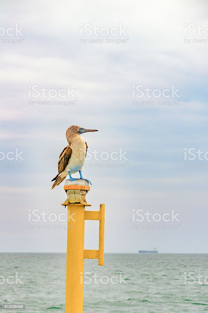 Exotic Bird with Blue Foots stock photo