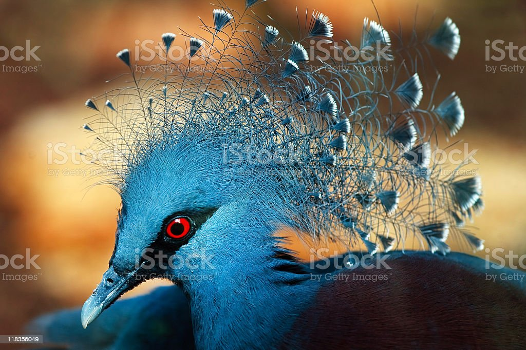 Exotic bird with red eyes and blue feathers - Goura Victoria stock photo