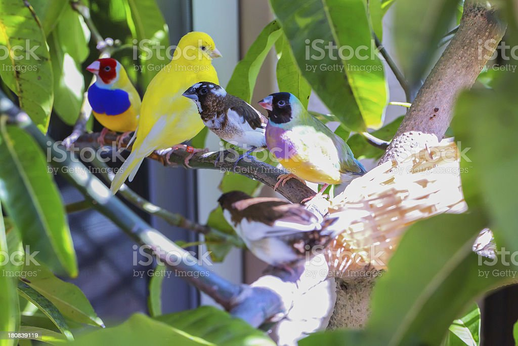 \'Gouldian finches, canary and society finch sitting on a branch.RM....