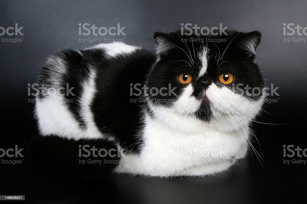 Exotic black and white cat stock photo