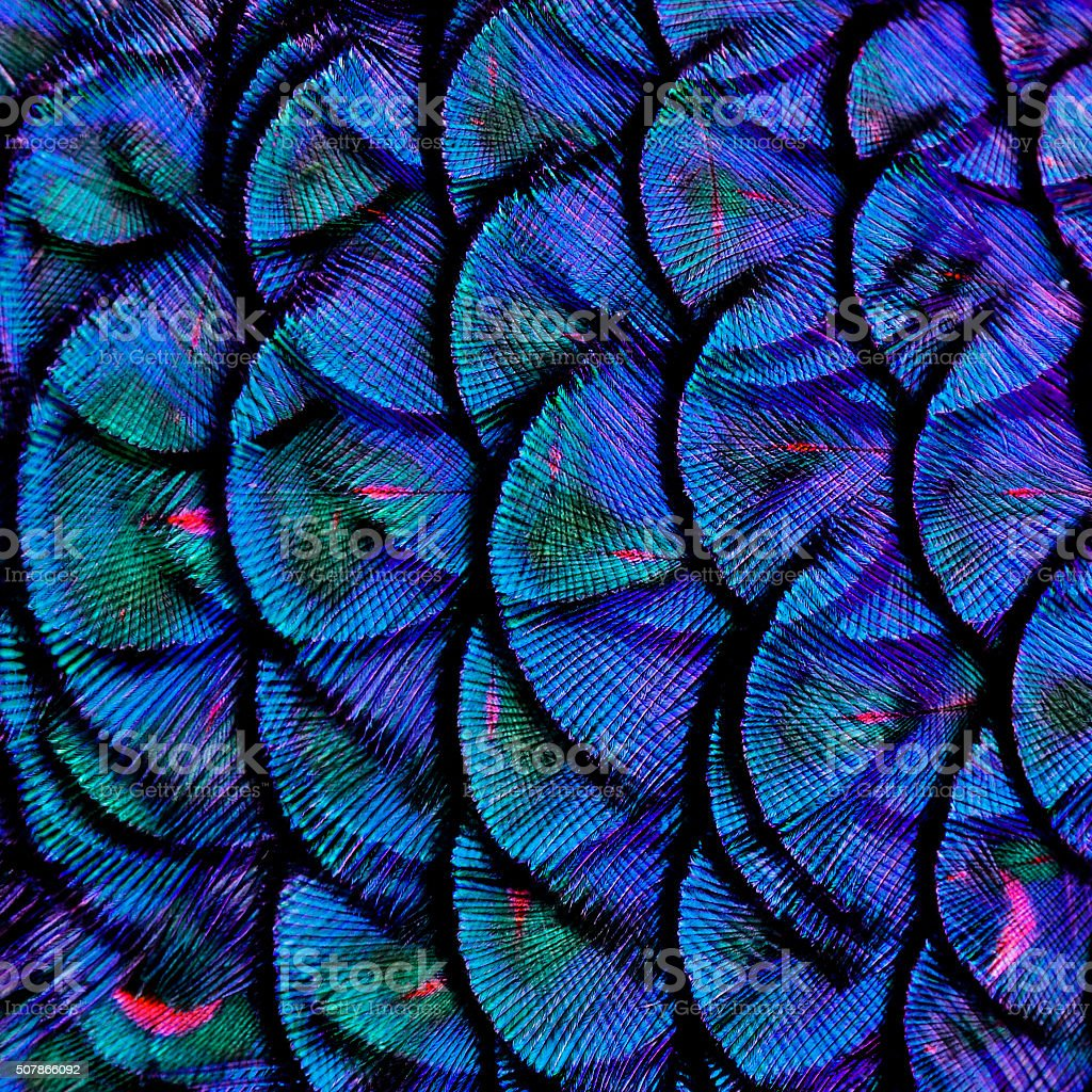 Exotic Blue Background Texture made of Green Peacock Bird's Feat stock photo