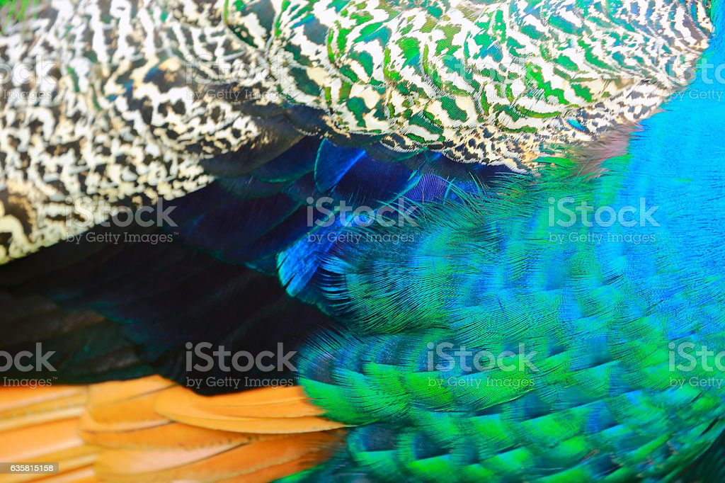 Exotic Blue, green and striped Background Texture, Peacock Bird's Feather stock photo