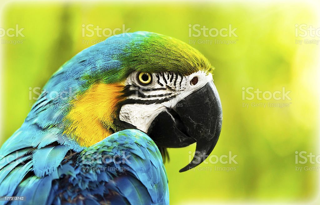 Exotic colorful African macaw parrot royalty-free stock photo