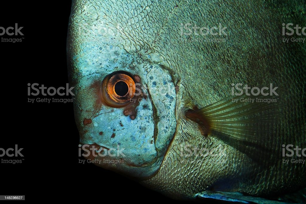 Exotic fish royalty-free stock photo