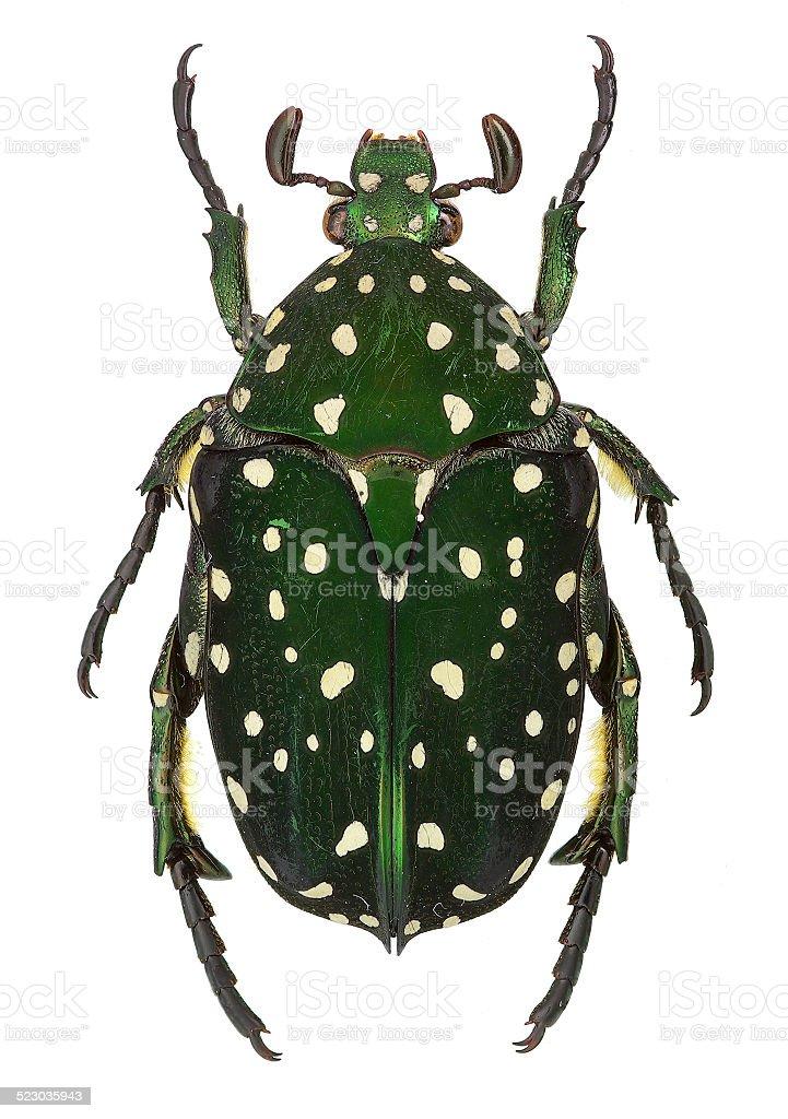 Exotic flower beetle Protaetia niveoguttata from Laos stock photo