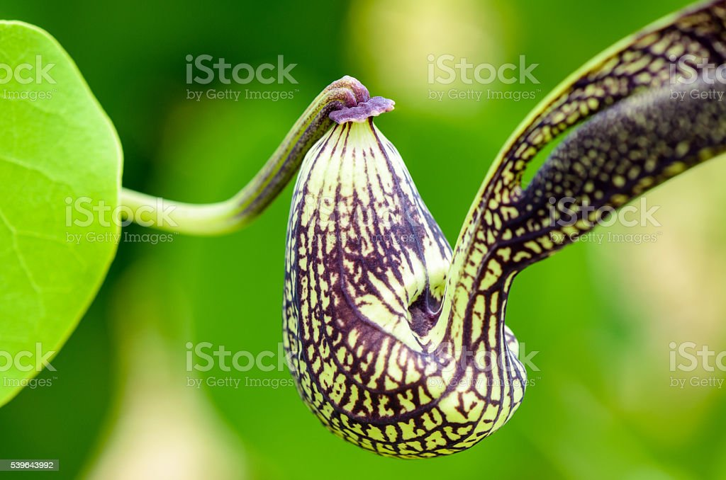 Exotic flower shaped like a chicken stock photo