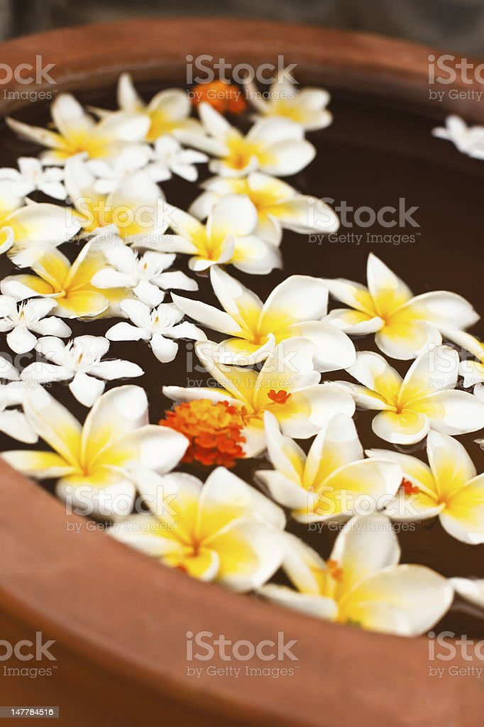 exotic flowers Plumeria royalty-free stock photo