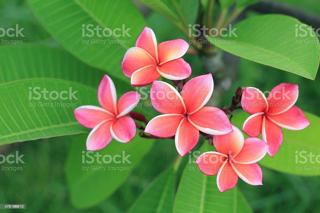 Exotic frangipani flower stock photo