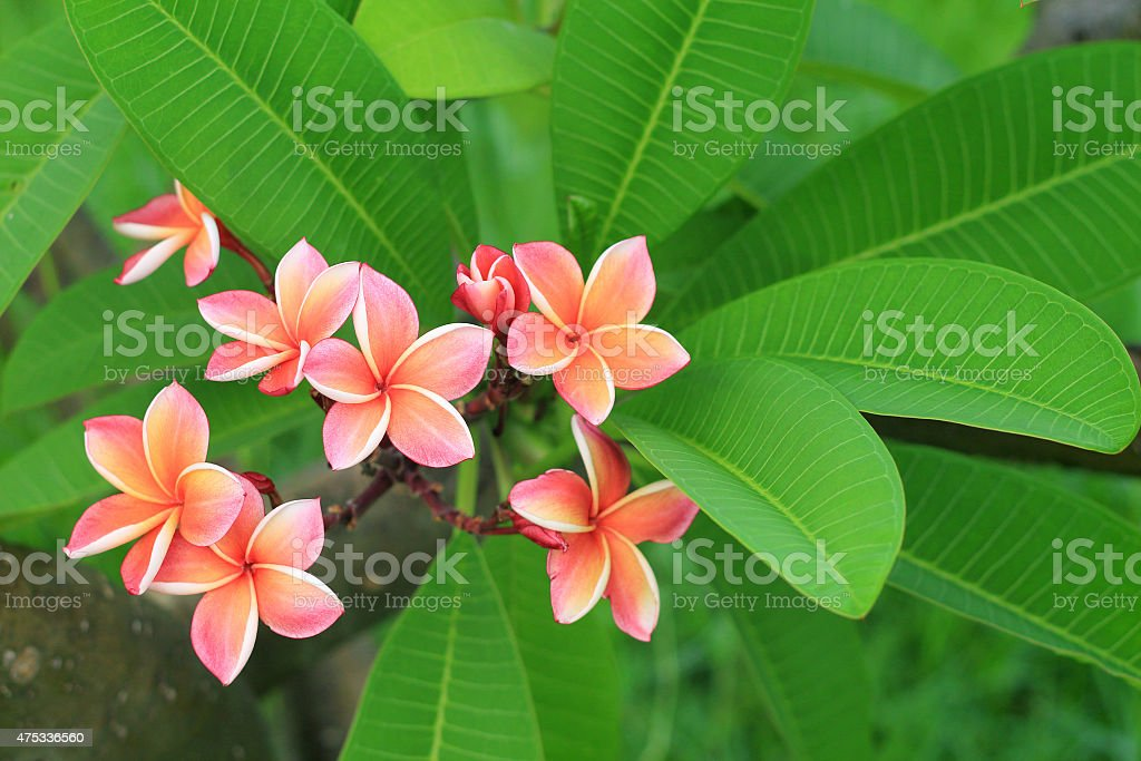 Exotic frangipani flower stock photo